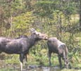Moose Watching near North Conway NH